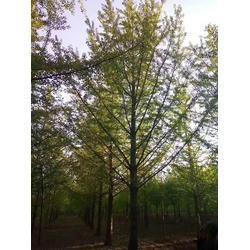 安徽银杏树多少钱-10公分银杏树多少钱-天成博森