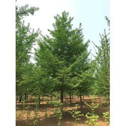15米银杏树表-天成博森(在线咨询)银杏树图片