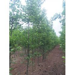 浙江银杏树-10公分银杏树-天成博森图片