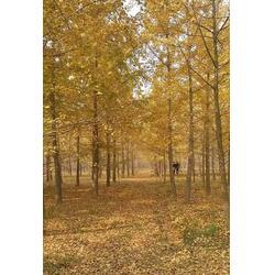 40公分银杏树-银杏树-天成博森(查看)图片