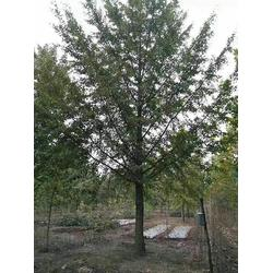 18公分实生银杏树-银杏树-天成博森(查看)图片