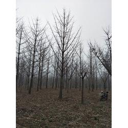 江苏银杏树-25公分银杏树-天成博森图片