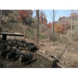 藏香猪供应_银河谷(在线咨询)_怀柔区藏香猪图片
