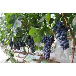 受市场欢迎葡萄苗夏黑葡萄德丰生态农业供应2至5年葡萄苗图片