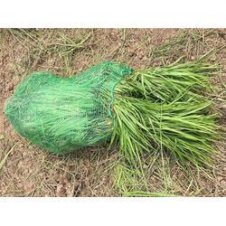 南阳麦冬草基地,虎强绿化苗木种植,麦冬草种植基地图片