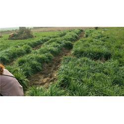 山东日本矮麦冬草-日本矮麦冬草种植方法-虎强绿化麦冬草基地批发
