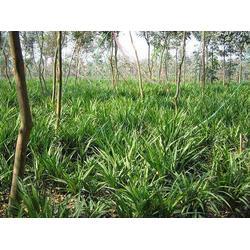 日本矮麦冬草-平顶山麦冬草-虎强绿化麦冬草基地图片
