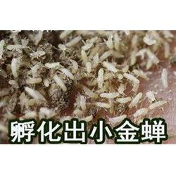 金蟬養殖技術視頻-億鳴金蟬可信賴-湖北金蟬養殖