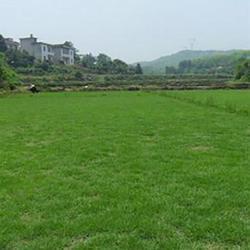 信阳马尼拉草坪基地,马尼拉草坪,商丘春风草坪基地(查看)图片