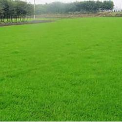 商丘春风草坪基地-宛城区百慕大草坪哪家好图片
