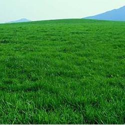 山东优质果岭草草坪,优质果岭草草坪,春风草坪图片