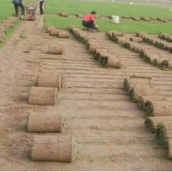 芜湖草坪,草坪品种,商丘春风草坪基地(推荐商家)图片