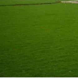 商丘春风草坪好 优质四季青草坪厂家 禹王台区四季青草坪厂家