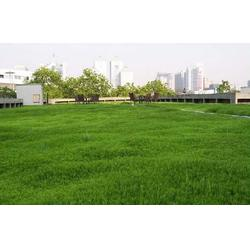 优质四季青草坪、商丘春风草坪基地、河北优质四季青草坪联系方式图片