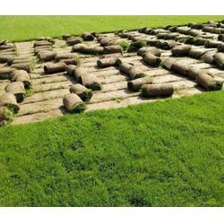 優質百慕大草坪多少錢-商丘春風草坪基地草坪