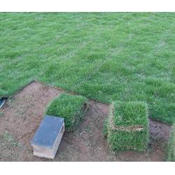优质马尼拉草坪价-商丘春风草坪低图片