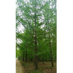 莱芜银杏树-大型盆景树银杏树-石博苗木图片