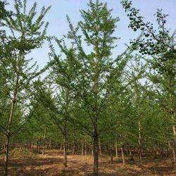 银杏树、石博苗木、29公分银杏树图片