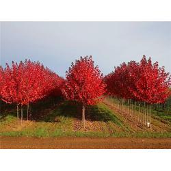 10公分美国红枫-石博苗木-美国红枫图片