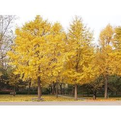 邳州市石博苗木种植 出售银杏苗木-重庆银杏苗图片