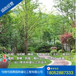 无锡桂花树报价、句容润昊园林(推荐商家)图片