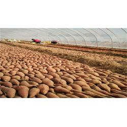 烟薯25多少钱-后赵庄红薯(在线咨询)东北烟薯25图片