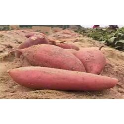 蜜红薯、蜜红薯报价、后赵庄红薯(优质商家)图片