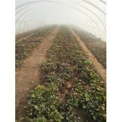 蜜薯紅薯苗-紅薯苗-后趙莊紅薯圖片