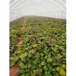 煙薯25苗子市場-后趙莊紅薯(在線咨詢)煙薯25圖片
