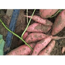 蜜薯,吕梁蜜薯,后赵庄红薯(查看)图片