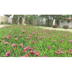 荷兰菊、荷兰菊  天人菊  、山合水荷兰菊(优质商家)图片
