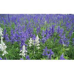 山合水蓝花鼠尾草种子,哪家鼠尾草便宜,渝北区鼠尾草