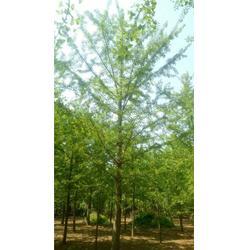 4公分银杏树、远森银杏苗木合作社、吉林银杏树图片