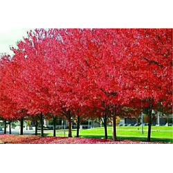 美国红枫树苗-远森银杏(在线咨询)美国红枫图片