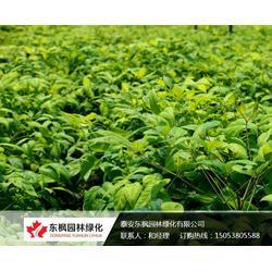 东方红南天竹-泰安东枫园林-东方红南天竹图片