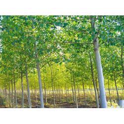 安陽紅瑞木-麗澤苗木專業合作社-紅瑞木種