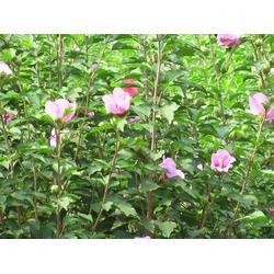 广西海棠-海棠盆景-丽泽苗木图片