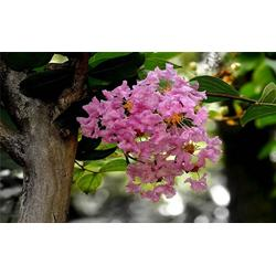 樱桃树-桓台樱桃树-丽泽(查看)图片