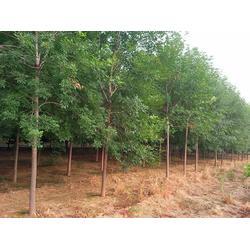 红叶小檗规格-洛宁红叶小檗-丽泽苗木基地(查看)图片