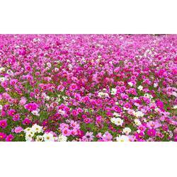 三色堇种植服务放心可靠图片