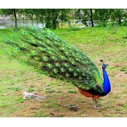 洛阳养殖蓝孔雀怎么样_珍宝特种养殖厂_养殖蓝孔雀怎么样