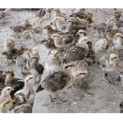 山雞哪里有賣-珍寶特種養殖廠(在線咨詢)-無錫山雞圖片