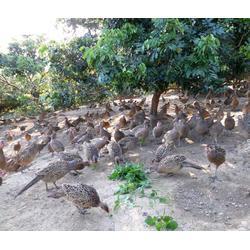 河南七彩山鸡苗养殖场、山鸡苗、珍宝特种养殖厂值得信赖(查看)图片