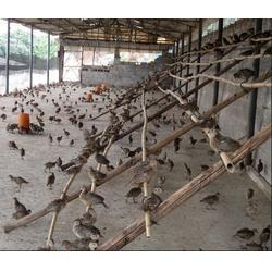 珍宝特种养殖厂野鸡苗 野鸡苗-野鸡苗图片