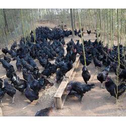 出售七彩山鸡苗、焦作七彩山鸡、珍宝特种养殖厂质量好(查看)