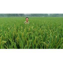 绿色大米,大米,湖南百金惠(查看)图片