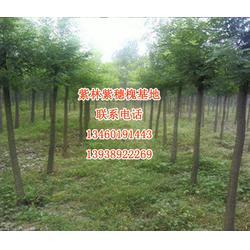 哪里有刺槐种子-安阳刺槐-紫林种植厂家直销(查看)图片