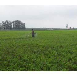 优质紫穗槐种苗电话-紫穗槐种苗-紫林种植货源充足
