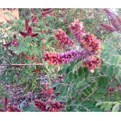 汉中紫穗槐-紫穗槐多少钱-紫林种植图片