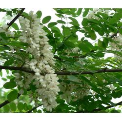 山西刺槐苗 紫林种植货源充足 生刺槐苗木